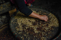 Woman choosing  raw coffee beans in Thailand. Woman choosing  raw coffee beans in  Chiangmai,Thailand Stock Photo
