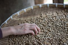 Woman choosing  raw coffee beans. In Thailand Royalty Free Stock Photography