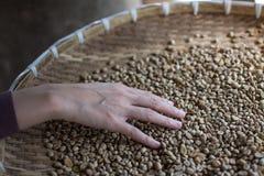 Woman choosing  raw coffee beans. In Thailand Stock Photos