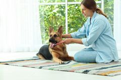 Woman cleaning dog`s teeth with toothbrush indoors stock photo