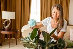 Woman is cleaning houseplant. Mature woman is dusting rubber tree in her apartment royalty free stock photo