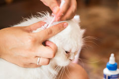 Woman cleans ears cat. Royalty Free Stock Photo