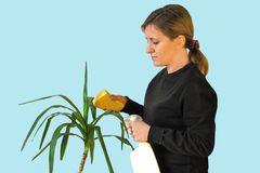 Woman cleans the green leaves of yucca flower with sponge and water spray. Housework routine or hobby care of indoor plant. Macro lifestyle image stock photos