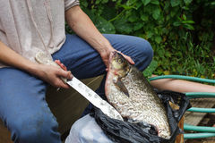 Woman cleans a huge fish. Bream on cutting board Royalty Free Stock Image