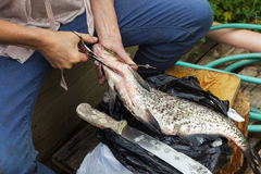 Woman cleans a huge fish. Bream on cutting board Royalty Free Stock Photography