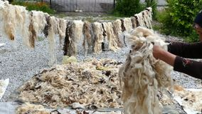 A woman cleans the sheep`s wool, stock footage