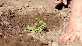 Woman close up on hand planting tomato seedling in her garden. Child help water. stock video