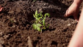 Woman close up on hand planting tomato seedling in her garden. Child help water. stock footage