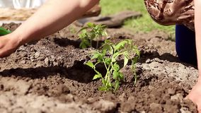 Woman close up on hand planting tomato seedling in her garden. Child help water. stock video footage