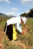 Woman Coca harvesting in South America. A Woman harvesting Coca leaves in Coroico, Bolivia Stock Image