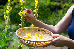 Woman collect mullein flowers. To a wicker basket. Yellow verbascum in the garden royalty free stock photo