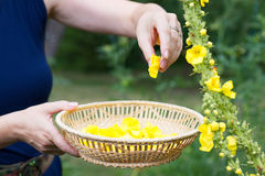 Woman collect mullein flowers. To a wicker basket. Yellow verbascum in the garden royalty free stock images