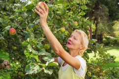 Woman collecting apples in the garden Stock Photos