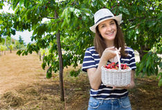Woman collecting cherries. Stock Photography