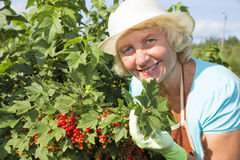 Woman collecting currant berries in the garden Royalty Free Stock Photography