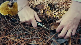 Woman collecting edible mushrooms in forest in autumn. Charbonnier or cep mushrooms Boletus edulis. Female hands of. Mushroomer, harvesting with knife, close-up stock video