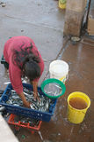 Woman collecting fish Stock Images