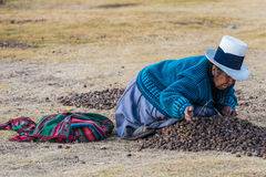 Woman collecting moraya  Chincheros town peruvian Andes  Cuzco P Royalty Free Stock Photography