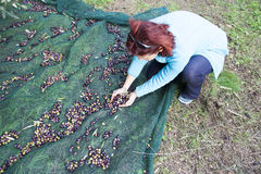 Woman collecting olives on olive harvesting net Royalty Free Stock Image