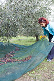 Woman collecting olives on olive harvesting net Royalty Free Stock Photo