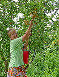 The woman collects apricots in a garden Stock Images