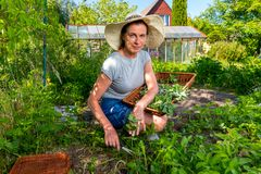 Woman collects fresh spearmint using scissors and tray in garden Royalty Free Stock Images
