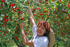 Woman collects harvest of cherry. Woman collects harvest  of ripe cherries in sunny day Stock Photos