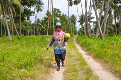 Woman collects harvest coconuts in palm forest Royalty Free Stock Image