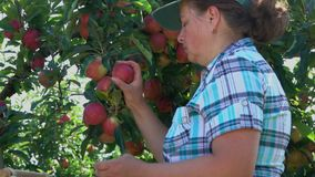 Woman collects the harvest of ripe apples. In the garden stock footage