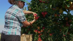 Woman collects the harvest of ripe apples. In the garden stock video footage