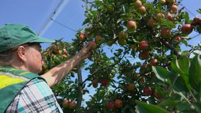 Woman collects the harvest of ripe red apples. In the garden stock video footage