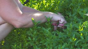 Woman collects herb mint. Woman collects medicinal herb mint stock footage