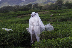 Woman collects tea leaves in Mauritius. In the rain royalty free stock images