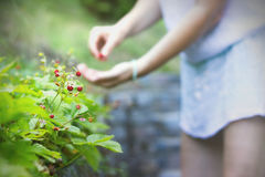 Woman collects wild strawberries Stock Photos