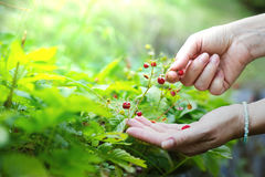 Woman collects wild strawberries in her garden Stock Photos