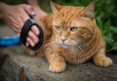 Woman combing a cat. Royalty Free Stock Image