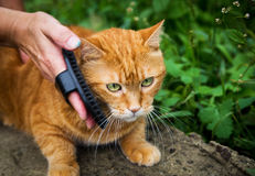 Woman combing a cat. Royalty Free Stock Photography