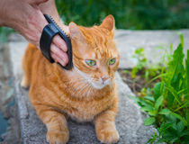 Woman combing a cat. Stock Image