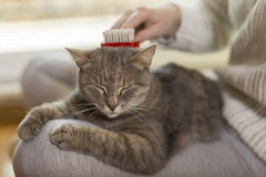 Woman combing pet cat. Tabby cat lying in her owner`s lap and enjoying while being brushed and combed. Selective focus Stock Image