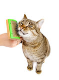 Woman combing tabby cat Stock Photography