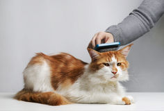 The woman combs a dozing cat's fur. Royalty Free Stock Photography