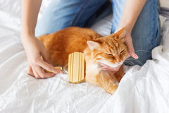 The woman combs a dozing cat's fur. Royalty Free Stock Images