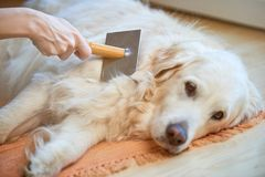 Woman combs old Golden Retriever dog with a metal grooming comb. Old Golden retriever dog grooming royalty free stock photography