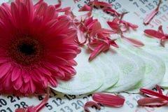 Woman critical days, Menstruation calendar, flower. Sanitary pads, calendar, towel and pink Gerber on light background royalty free stock photography