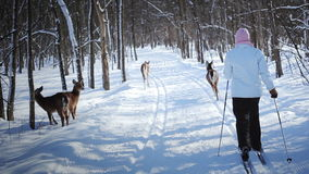 Woman Cross-Country Skiing With Deers stock video