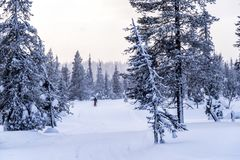 Woman cross country skiing in Lapland Finland Royalty Free Stock Images