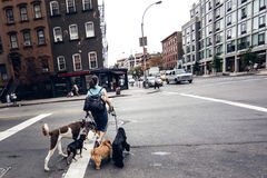 Woman crossing road with dogs Stock Photography