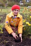The woman cultivates autumn flowers Royalty Free Stock Photo