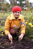 The woman cultivates autumn flowers Royalty Free Stock Photography