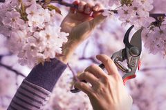 Woman cut a blooming branch of cherry tree. With pruning scissors, garden work on a trees in springtime Stock Images